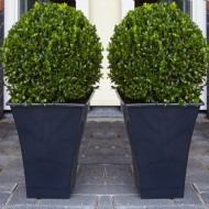 Pair of Premium Quality Topiary Buxus BALLS with stylish contemporary Flared BLACK Planters