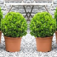 PAIR of Topiary Buxus BALLS - Stylish Contemporary Box Ball PLANTS