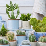 Cactus Plant Collection - Pack of 12 Cacti Plants in Assorted varieties