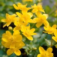Caltha palustris - Marsh Marigold