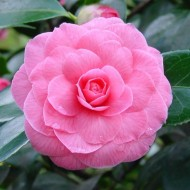 Camellia japonica Pink Perfection - Double Pink Evergreen Camellia