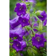 Campanula medium Blue - Canterbury Bells