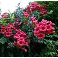 Campsis radicans Atropurpurea - Trumpet Vine - Large 6ft Specimen