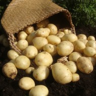 Casablanca - 1st Early Seed Potatoes - Pack of 10
