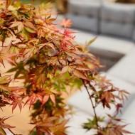 Acer palmatum 'Cascade Ruby'