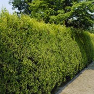 Gold Leylandii - Castlewellan Gold Leyland Cypress - Cuprocyparis leylandii - Pack of TEN 80-100cm (circa 3ft) Hedging Conifers