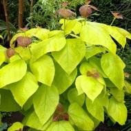 Catalpa bignoides Aurea - Golden Indian Bean Tree