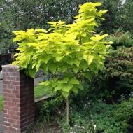 Catalpa bignoides Aurea - Golden Indian Bean Tree Standard
