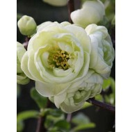 Chaenomeles Kinshiden - Double Flowering Ornamental Quince