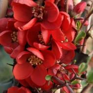 Chaenomeles x superba Clementine - Flowering Ornamental Quince