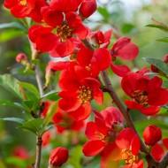 Chaenomeles x superba Vermilion - Flowering Ornamental Quince
