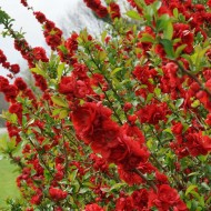 Chaenomeles speciosa Scarlet Strom - Double Flowering Quince