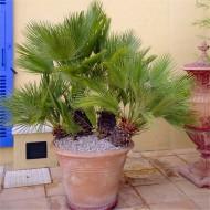 Chamaerops Humilis - Hardy Mediterranean Fan Palm - LARGE XXL Specimen - 140-180cms tall