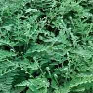 Cheilanthes Lanosa - Hairy Lip Fern