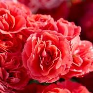 Rose Floribunda Cherry Girl