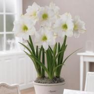 Snowy White Amaryllis - Gift Boxed Hippeastrum Bulb