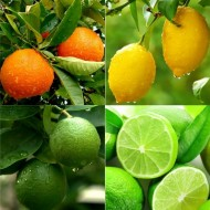 Patio Citrus Tree Collection - Orange, Lemon & Lime Tree + Citrus Feed