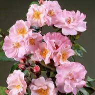 Large 6-7ft Specimen Climbing Rose - Clair Matin