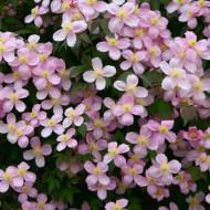 Clematis montana rubens - Large 6-7ft Specimen Plant - Pink Anemone Clematis