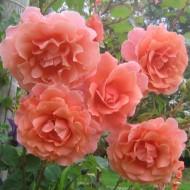 Large 6-7ft Specimen - Climbing Rose Alibaba - Apricot flowers