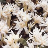 Colchicum autumnale 'Alboplenum' - Rare Double Flowered White Autumn Crocus Bulb