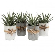 Collection of Four Succulent Partridge Aloes in frosted Glass Pots adorned with wooden stars