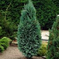 Chamaecyparis lawsonia 'Columnaris' Glauca - 80-100cm Steel Blue Specimen or Hedging Conifers