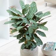 Ctenanthe setosa Compact Star - Fishbone Prayer Plant - Never Never Plant