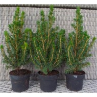 Pack of THREE Mini Christmas Trees - Picea - Ideal for Table Decoration
