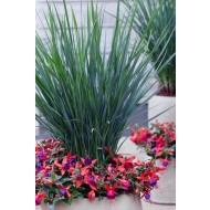 Dianella Coolvista - Ornamental Grass
