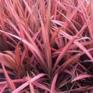 Cordyline australis Coral - New Coral-Pink Leaf Cordyline