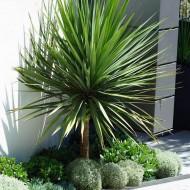 Cordyline australis - GIANT EXTRA LARGE 5-6ft Specimen Palm