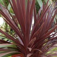 Cordyline australis Red Star - Purple Torbay Palm - 80-120cms LARGE SPECIMEN