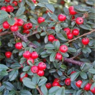 Cotoneaster Coral Beauty