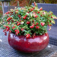 Red Candy Cranberry Plants - Pack of THREE