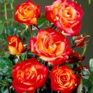 Rose Cuba Dance