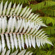 Large Cyathea dealbata - Silver Tree Fern