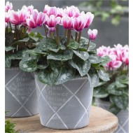 Cyclamen Bicolour in Bud and Bloom complete with white display pot