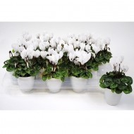 Snowy White Cyclamen Plants in White Pots - Pack of THREE