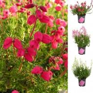 Daboecia cantabrica - Irish Princess Heather - Pack of THREE Gorgeous Plants