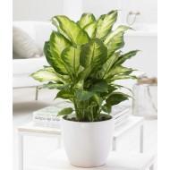 Dieffenbachia 'Compacta' - Foliage House Plant with White Display Pot
