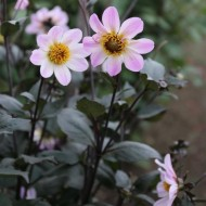 Dahlia Bishop of Dover - Pack of THREE