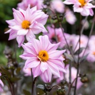 Dahlia Bishop of Leicester - Pack of THREE