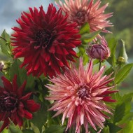 Dahlia Cactus - Red / Red-White Mix - Pack of THREE