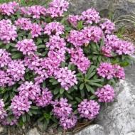 Daphne Cneorum - Garland Flower or Rose Daphne