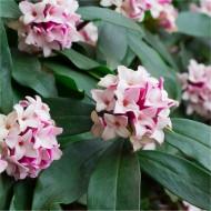 Daphne odora - Fragrant Hardy Evergreen Shrub