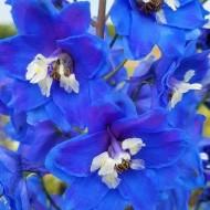 Delphinium Blue Bird