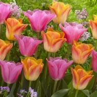 Designer Tulip Blend 'Peach Melba' - Pack of 12 Bulbs