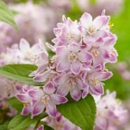 Deutzia 'Raspberry Sundae' - Large Plant