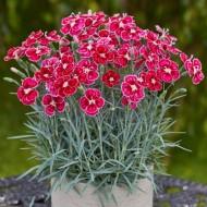Hardy Dianthus Flutterburst - Delightfully Scented Devon Pink
